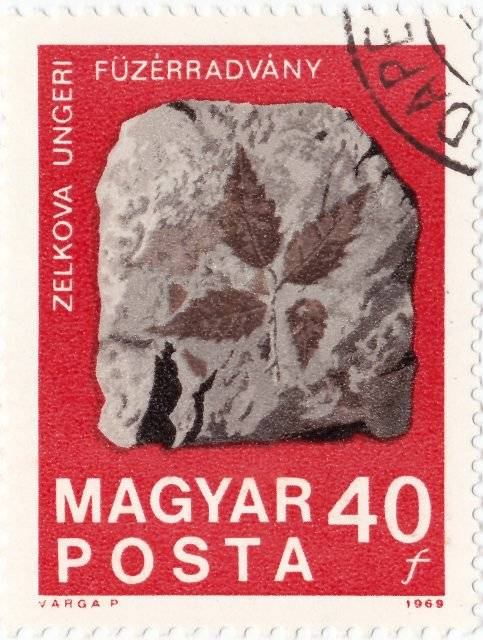 Fossile Zelkova Ungeri de Fuzerradvany - 1969